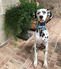 Happy Mother's Day!  #mykidshavepaws #jackson #dalmatian #dalmatianpuppy #happymothersday #bowtie by jackson_the_dalmatian #lacyandpaws