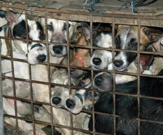 BREAKING: Dog meat sales banned at China's Yulin festival in milestone victory to end brutal ma