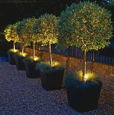 Let there be Night  Garden Idea  .....would look fab with the twisted willow made into standards