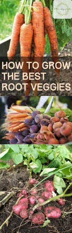 Here are some tips on how to grow the best root veggies in your garden. | Vegetable Gardening Tips | Home Garden Tips | Vegetable Gardening Hacks #vegetablegardening