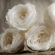 Preserved Soft White French Roses (8 rose heads) Flowers- Miss Sharon, I'm going to need at least two sets of these for the bouquet and boutonnieres!