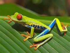 South American tree frog