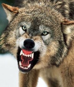 Google Image Result for http://www.fahrenheit247.com/wp-content/uploads/2011/01/wolf1.jpg
