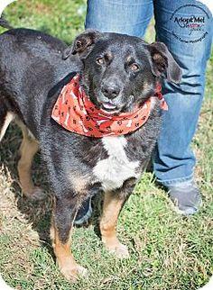 ADOPTED!!!!!!!!!!!!!!! Iola, TX - Shepherd (Unknown Type)/Labrador Retriever Mix. Meet Kip, a dog for adoption. http://www.adoptapet.com/pet/15109569-iola-texas-shepherd-unknown-type-mix