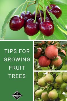 Grow your own fruit in your backyard. Learn how to grow fruit trees with these fruit gardening tips. #gardeningchannel #gardening #growingfruit #fruitgardening
