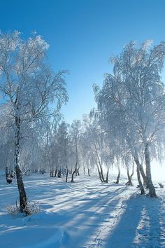 Russian Birches | Amazing Pictures - Amazing Pictures, Images, Photography from Travels All Aronud the World