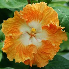 Discover recipes, home ideas, style inspiration and other ideas to try. Pretty Flowers, Hawaiian Flowers, Beautiful Flowers, Hibiscus Flowers, Hibiscus, Tropical Flowers, Gumamela, Tropical Flower Plants, Hibiscus Plant