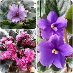 Purple #nofilter #africanviolets #houseplants #karmabloggers
