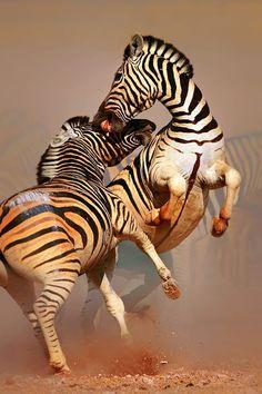 Zebra duel in Etosha