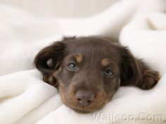 Shorthaired Miniature Dachshund Puppies | ... Short-haired dachshund puppy photos, sausage dog photo,,Miniature