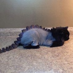 Persian Cat Haircut Dino Cat Plots Your Extinction is listed (or ranked) 2 on the list Cats Who Are Not Happy with Their New Hair Styles Funny Cat Images, Funny Animal Pictures, Funny Cats, Funny Animals, Cute Animals, Crazy Cat Lady, Crazy Cats, Shaved Cat, Cat Haircut