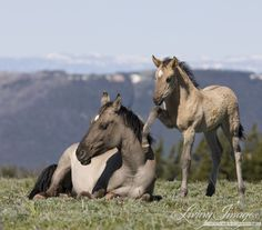 Wake Up Mom  Fine Art Wild Horse Photograph by Carol Walker www.LivingImagesCJW.com  I love this coloring...
