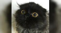 #HeyUnik  Penampakan Unik Kucing Mirip Burung Hantu Ini Bikin Heboh #Hewan #Sosial #Teknologi #YangUnikEmangAsyik