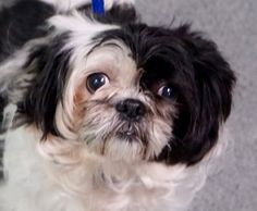 TO BE DESTROYED 12/08/16*  *RESCUE ONLY** OWNER SICK--   ROXY  A1098791 female black and white shih tzu mix. 5 YEARS old. as a OWNER SUR  OWNER