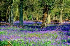 The New Forest, England...such a lovely place for a bluebell walk!