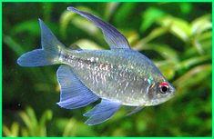 Cara Merawat Ikan Hias Diamond Tetra Dunia Fauna Hewan Binatang Tumbuhan Ikan Ikan Akuarium Binatang