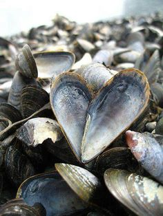 """Sea Shell Heart - mussels - or """"moules"""" - can be bought from the local fishermen in Selsey if you are having a party! You can't get fresher than that! Heart In Nature, Heart Art, I Love Heart, Happy Heart, Humble Heart, Yoga Studio Design, Am Meer, Shell Art, Shell Crafts"""