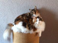 Puk en Liz. Twee calico dames - Maine coons