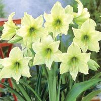 Lemon Star Amaryllis from Breck's Gifts