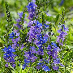 Best plants for trough gardens evergreen gardens and garden ideas speedwell mightylinksfo