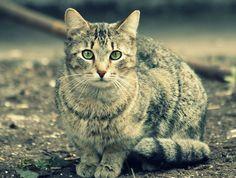 O gato (Felis silvestris catus), também conhecido como gato caseiro, gato urbano ou gato doméstico, é um animal da Família dos felídeos, muito popular como animal de estimação. A subfamília Felinae, que agrupa os gatos domésticos, surgiu há cerca de 12 milhões de anos, expandindo-se a partir da África subsariana até alcançar as terras do atual Egito.