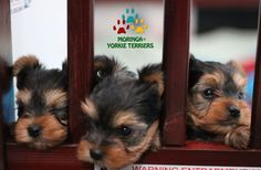 Yorkie Terrier Puppies, - Yorkie Puppies For Sale*Moringa Yorkie Teacups*Yorkshire Terriers*Grooming Products*Southern California Dogs *Yorkies Inland Empire CA * Buy Teacup Puppies * Pet Shampoo * Pet Sitter *Pet Health Products* Toy Dog Breeder