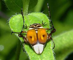 Scarab Beetle.....jimmccormac.blogspot.com