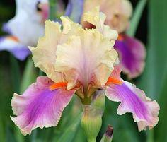 TB Iris germanica 'Colette Thurillet' (Cayeux, 1991)