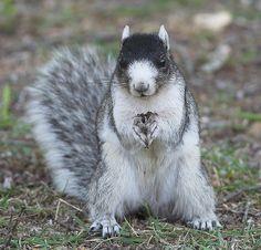 White Fox Squirrel   Fox Squirrel   Flickr - Photo Sharing!