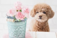 Toy Poodle I could cuddle him all day