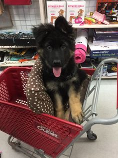 German Shepherd 3 months old