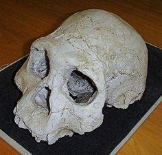 Cranium D2700 from Dmanisi, Georgia (replica)    (See this fossil in Sapiens mobile app)