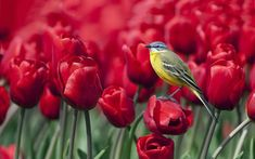 Awesome Red Tulips and Bird Birds, Flowers, Tulips Bird Wallpaper, Widescreen Wallpaper, Wallpaper Pictures, Wallpapers, Red Tulips, Tulips Flowers, Red Roses, Pretty Birds, Beautiful Birds