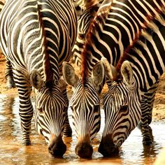 Triplets at the Watering Hole