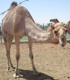Camels were brought to Australia from the Middle East as a mode of transportation and when technology advanced, they roam free in the outback.