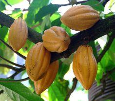 cacao de Puerto Rico
