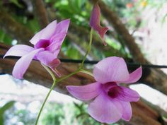 Dendrobium bigibbum – Cooktown Orchid  See its profile and more photos here ◢ http://worldoffloweringplants.com/dendrobium-bigibbum-cooktown-orchid/
