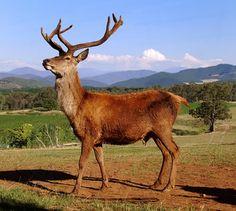 Red Stag Deer Farm Deer Farm, Stag Deer, Alps, Opera, Victorian, Bright, Horses, Country, Gallery