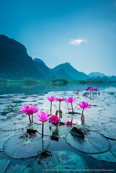 Wild water lily Suoi Yen, Ha Tay near Ho Noi capital, Vietnam. Morning Lily by Andre Luu.