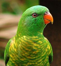 Scaly-breasted Lorikeet - Trichoglossus Chlorolepidotus, from Australia