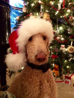 Christmas Standard Poodle Apricot Standard Poodle Oliver's Christmas Picture 2014 25 months old Service dog in training