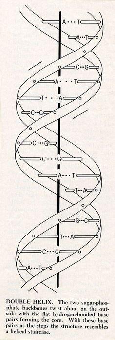 dna strand model coloring page from biology category  select from 20946 printable crafts of