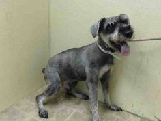 TO BE DESTROYED 8/16/14 Manhattan Center  **SENIOR ALERT**  My name is RAMBO. My Animal ID # is A1010453. I am a male black and gray schnauzer min. The shelter thinks I am about 13 YEARS old.  I came in the shelter as a OWNER SUR on 08/13/2014 from NY 11418, owner surrender reason stated was MOVE2PRIVA. Me Salve, American Animals, Foster To Adopt, Pet Adoption, Animal Adoption, I Want Him, All Gods Creatures, All Dogs, My Animal