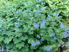 Geranium 'Philippe Vapelle' Geraniums, Garden Plants, Planting, Perennials, Garden Ideas, Herbs, Formal, Preppy, Plants
