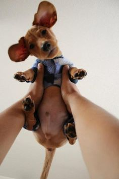 What u looking at? Awwwwww doxie