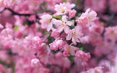 awesome Image Of Cherry Blossom