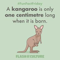 FUN FACT: A kangaroo is only one centimetre long when it is born. Animal Facts For Kids, Fun Facts For Kids, Fun Facts About Animals, Wtf Fun Facts, Funny Facts, Australia For Kids, Australia Animals, Facts About Australia, Cool Pets