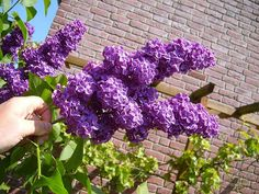 Love lilacs? Learn how to take care of them!
