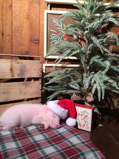 df38e7236f9d24119c93db917072e4d5--funny-pigs-christmas-animals.jpg 736×981 pixels