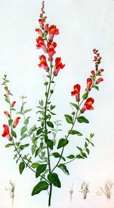 Picturing Plants and Flowers: Gottfried-Wilhelm Voelker: Antirrhinum latifolium